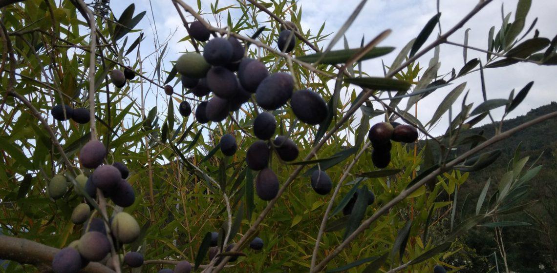 olive olivo foglie di olivo