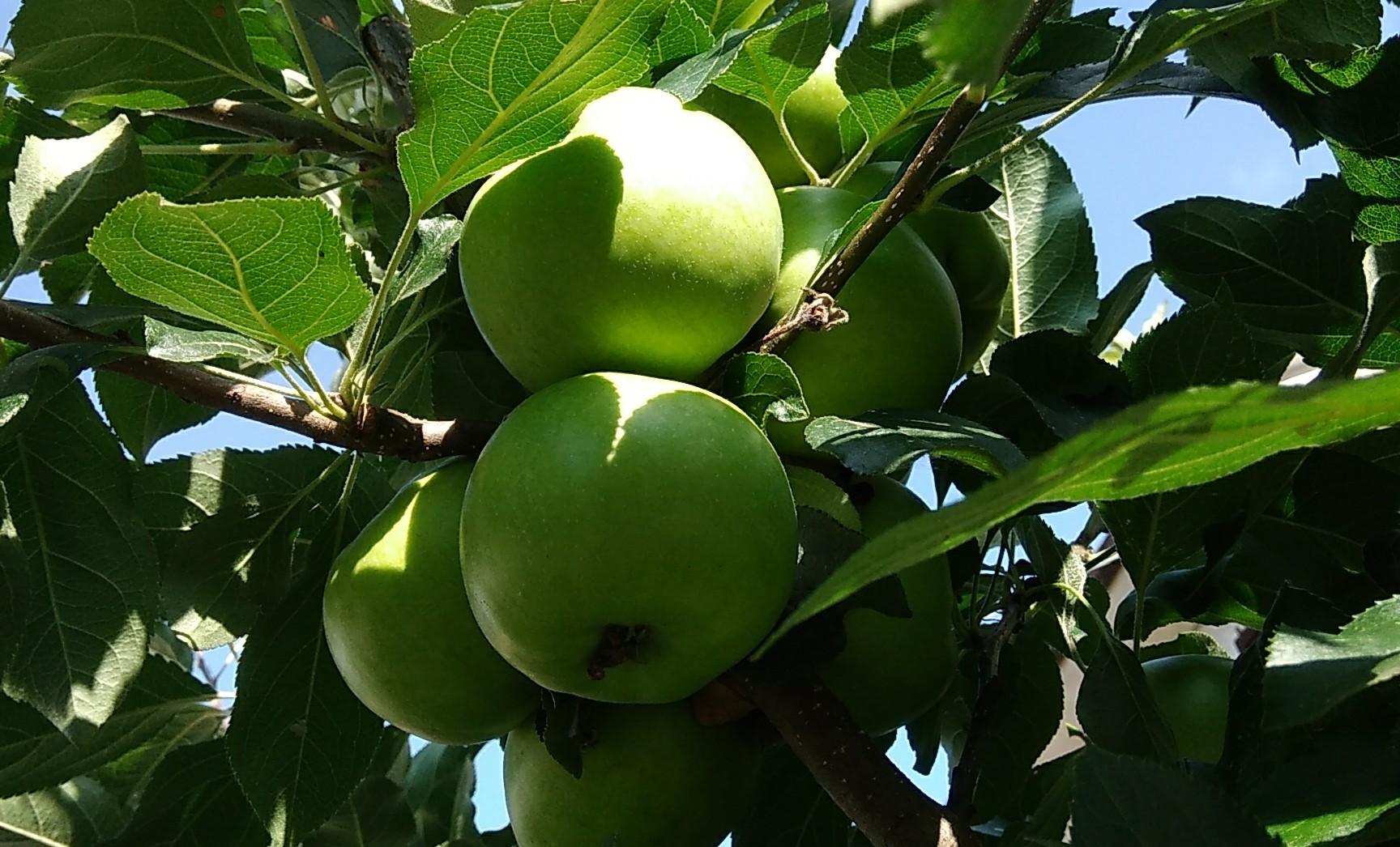 frutto mele