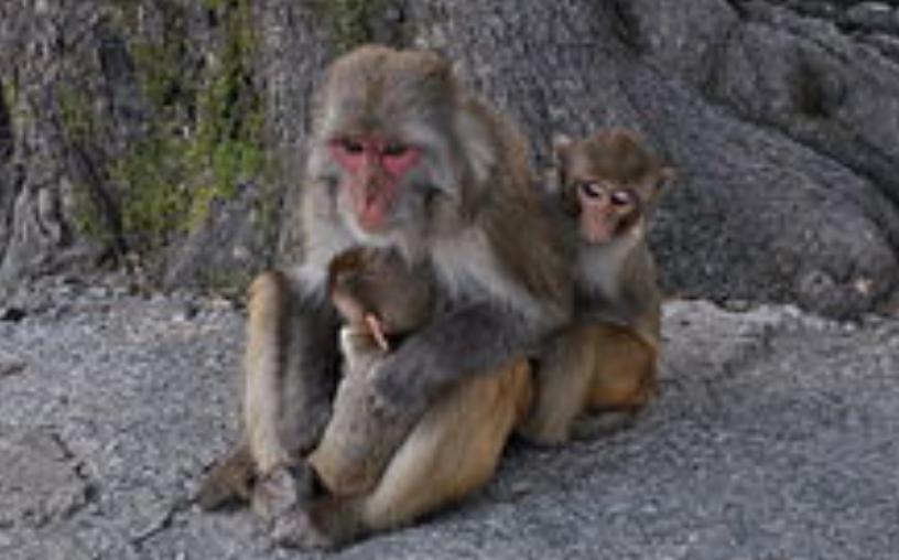Macaco Rhesus Macaca Mulatta
