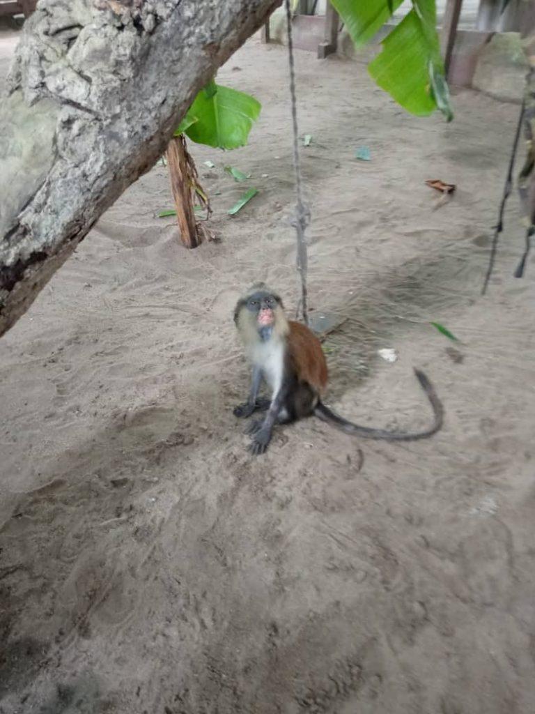 monkey macaco