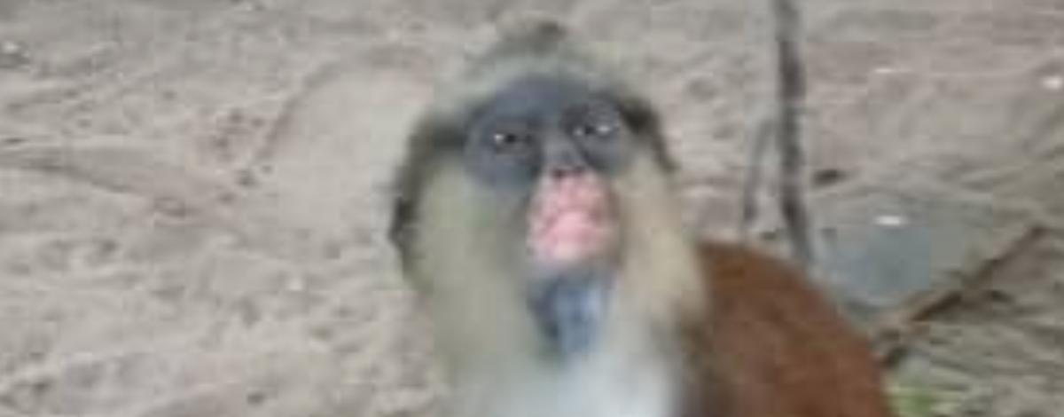 bestia macaco - virus